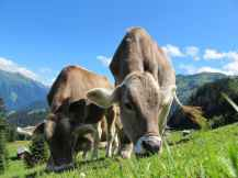 cows-cow-austria-pasture-sky-64231